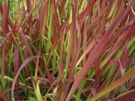 Imperata cil. Red Baron
